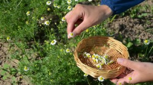 stock-footage-herbalist-hand-pick-chamomile-herbal-flower-blooms-to-wooden-wicker-dish-in-garden-alternative